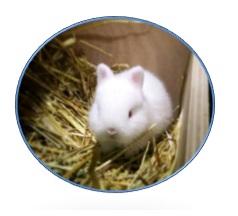ארנבון ננסי