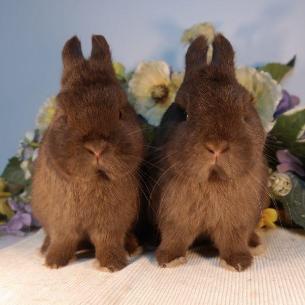 הארנבונים שלנו-ננסים הולנדים